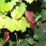 das Grün der Weingärten verwandelt sich in ein rotes Farbenspiel