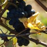 Das Blau der Weingärten