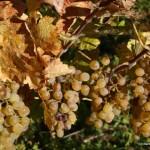 Weintraube die Sonnenfrucht