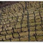 Weingarten nach dem Rebschnitt Anfang März, Eisenberg Südburgenland