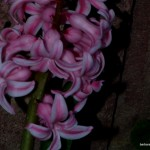 Hyazinthen (Hyacinthus)